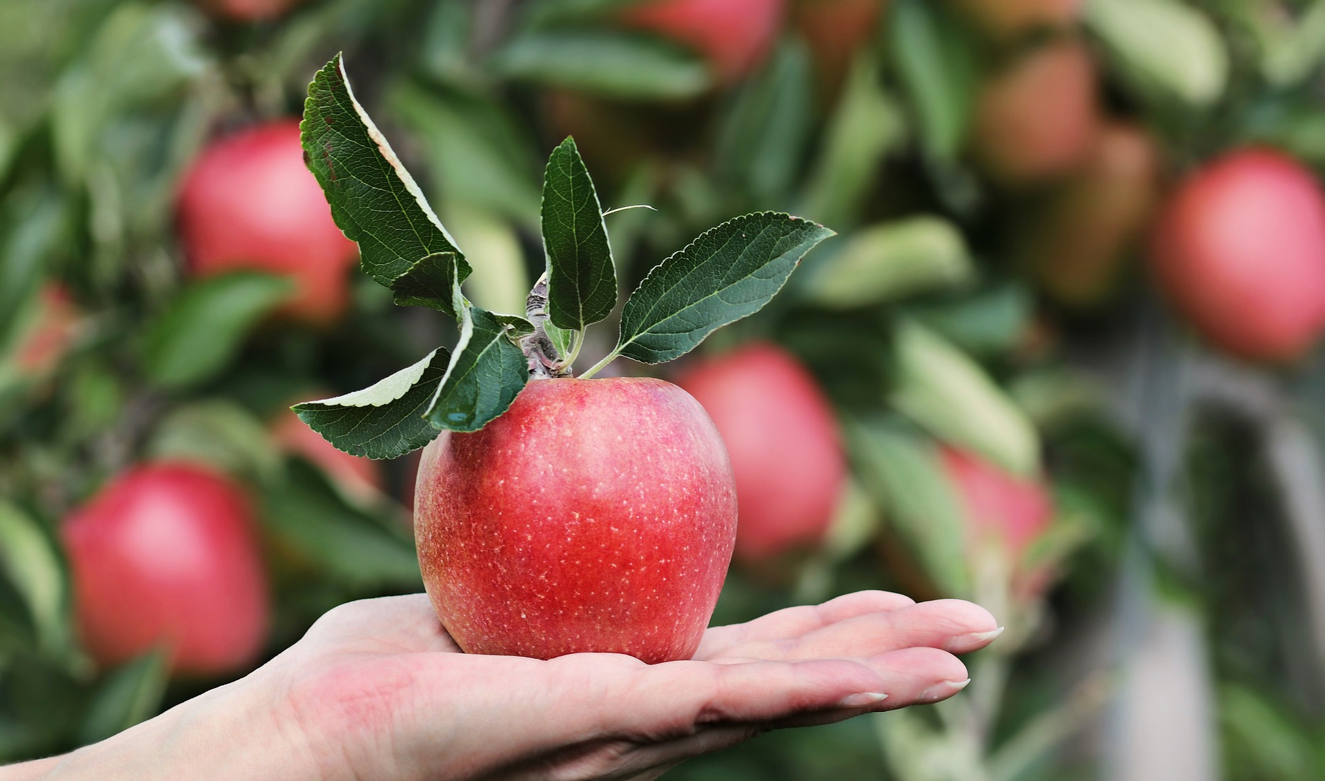 Apples – Crunch Your Way to Healthy Nutrition